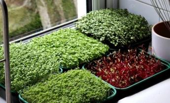 Как вырастить микрозелень?