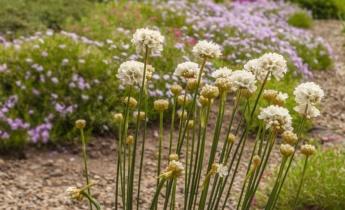 Рослини для посухостійкого квітника