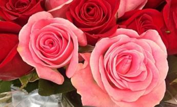 Як правильно висаджувати троянди?