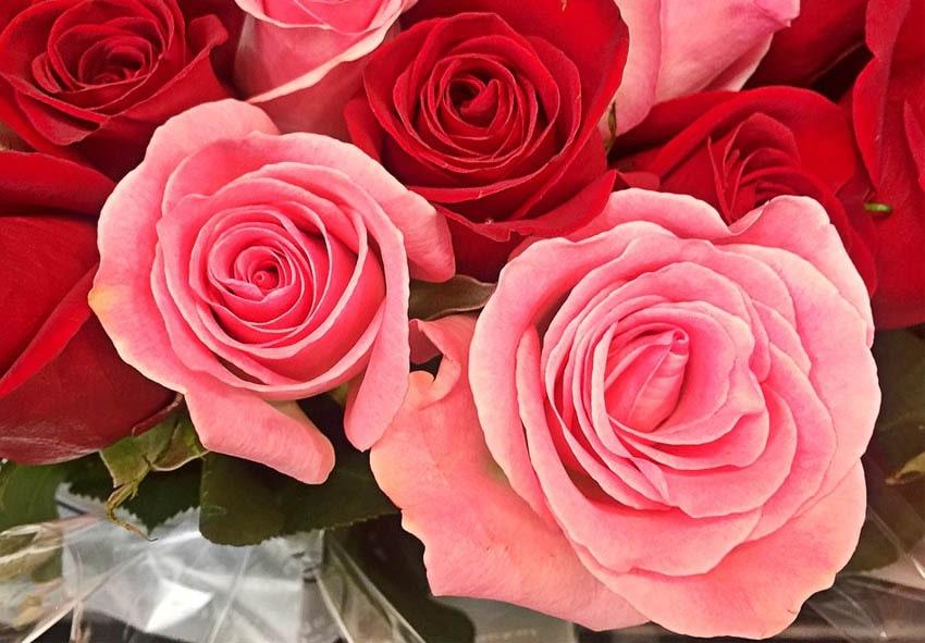 Як правильно висаджувати троянди фото опис