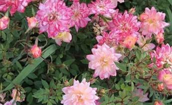 Все, что вы хотели знать о почвопокровных розах