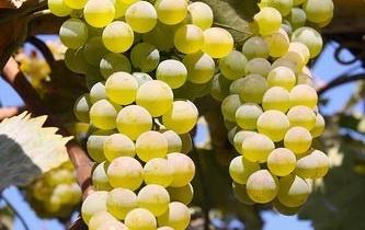 Календарь обработки винограда от болезней