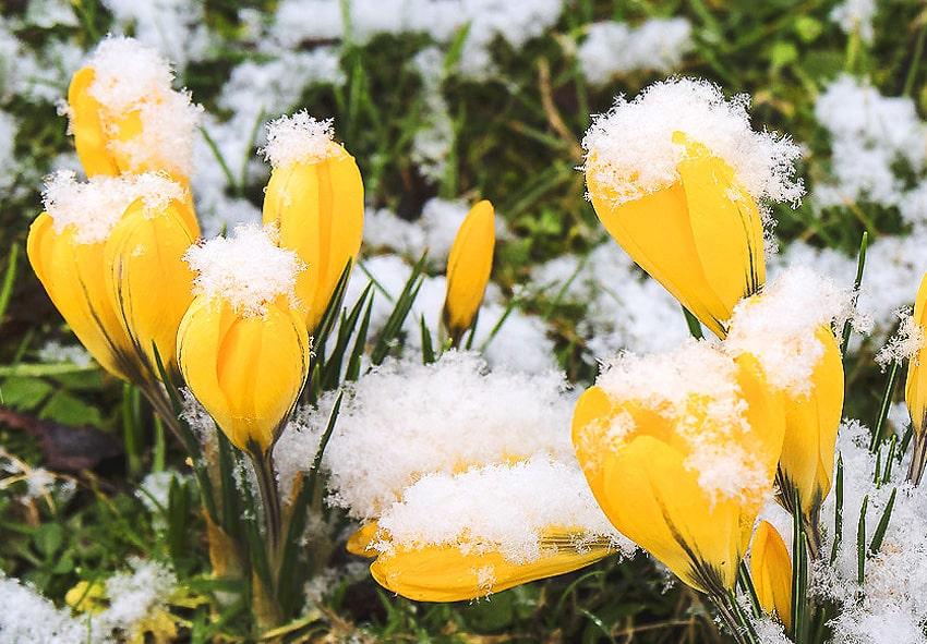 Висадка цибулин в прохолодну погоду фото опис