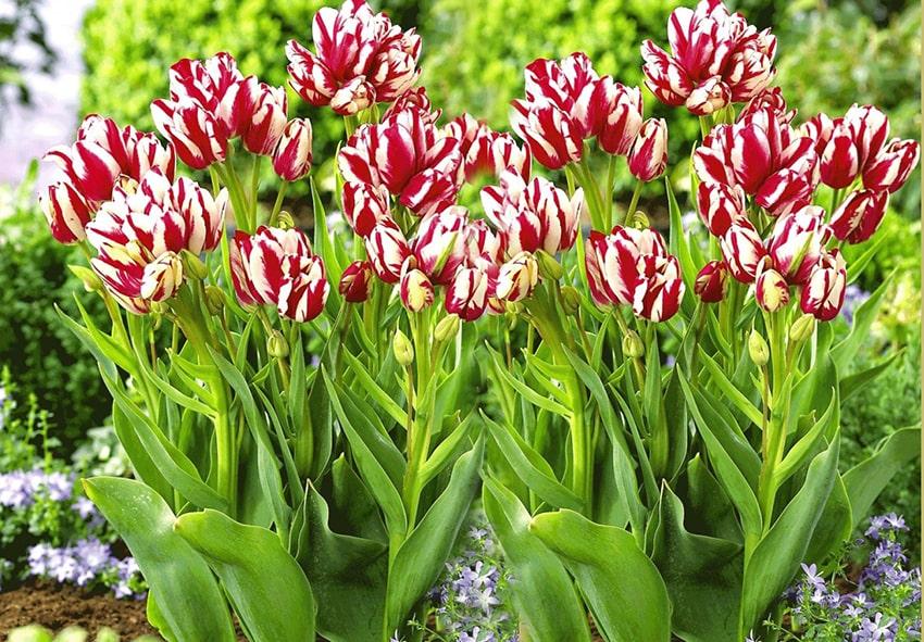 Особливості і різноманітність сімейних тюльпанів фото опис