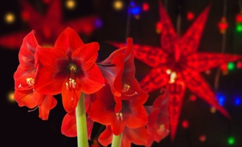 Рослини — символи Різдва