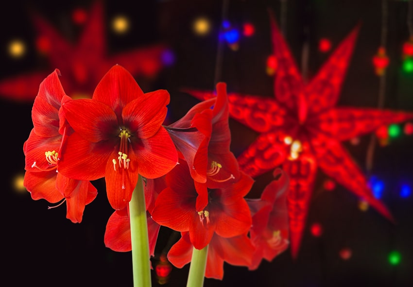 Рослини - символи Різдва фото опис