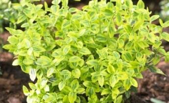 Бересклет Форчуна: вечнозеленый кустарник для вашего сада