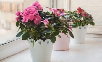 Рододендрон та азалія – два близьких родичі в садах та на підвіконнях