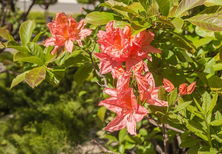 квіти рододендрона фото опис