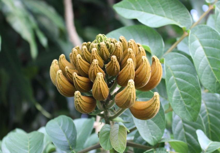 Выращиваем африканское дерево в своем саду фото описание