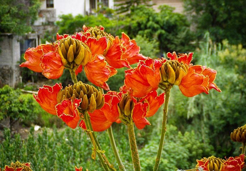 Африканское тюльпановое дерево фото описание