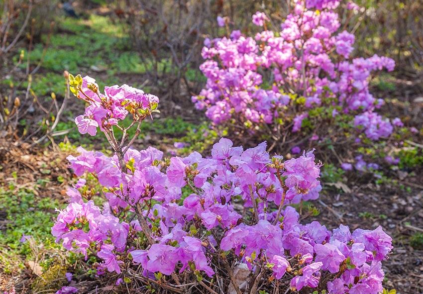 Рододендрон в ботанічному саду фото опис