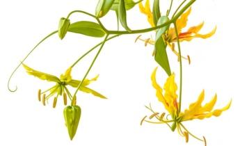 Глоріоза: особливості вирощування