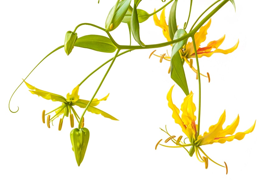Глоріоза: особливості вирощування фото опис