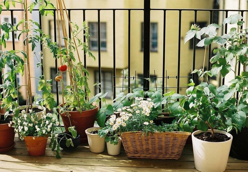 Вирощування овочів на підвіконні фото опис