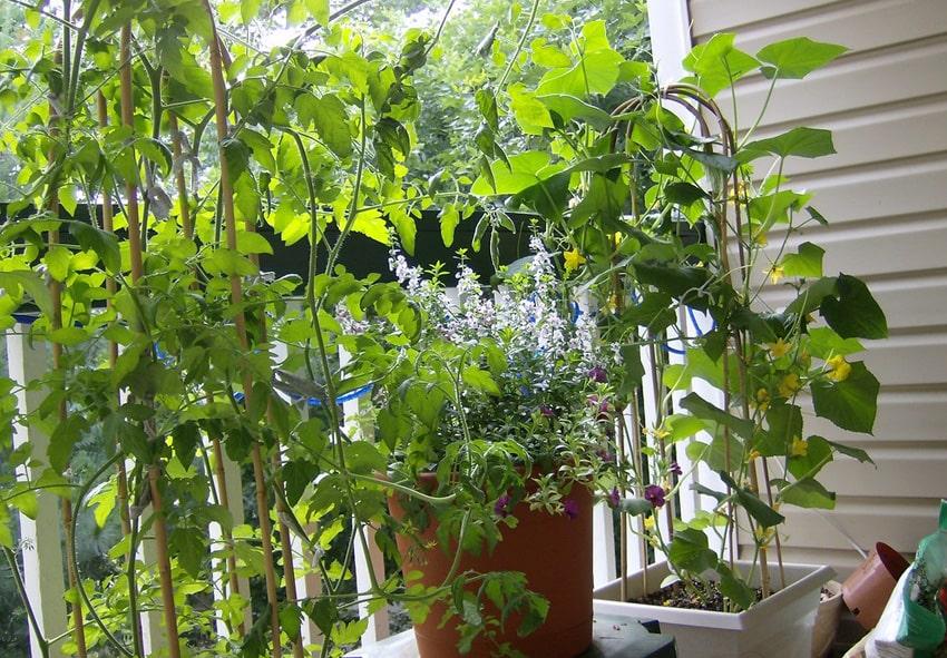 Огірки на підвіконні фото опис