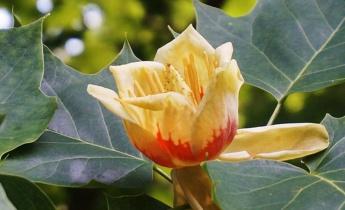 Тюльпановое дерево (Лириодендрон)