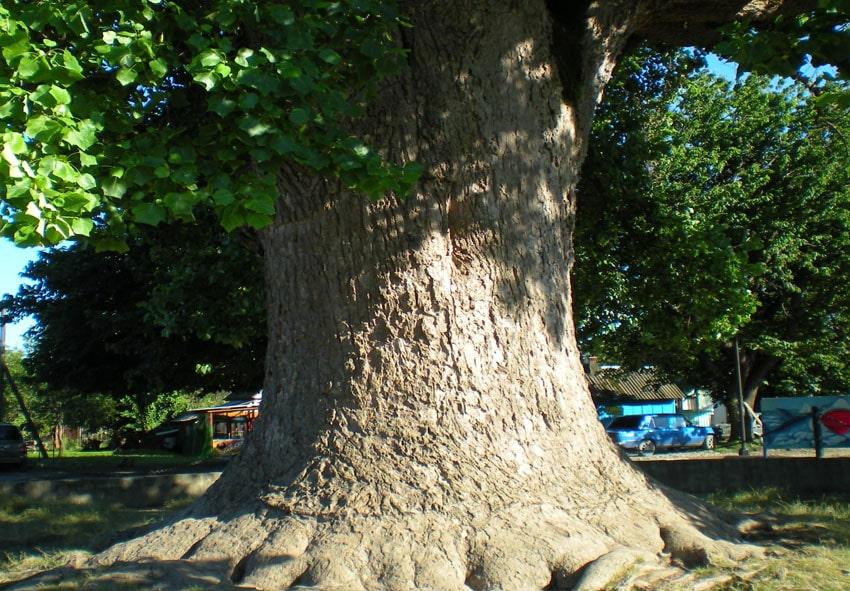 Тюльпановое дерево в Головинке фото описание