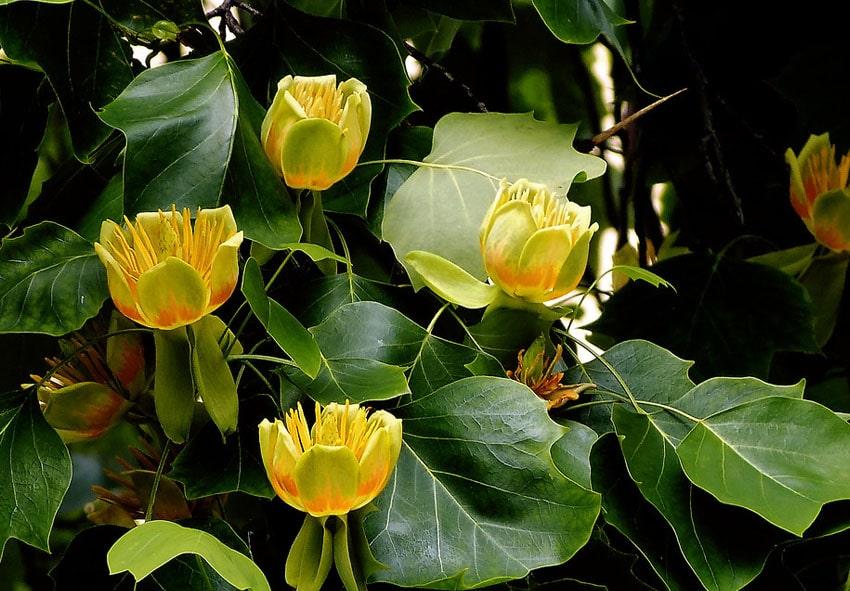 Тюльпановое дерево ботаническое описание фото