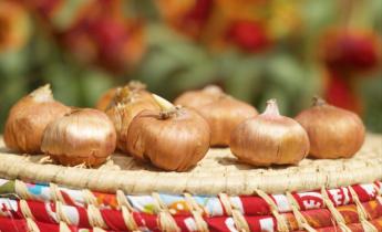 Узнайте, когда доставать клубни гладиолусов из подвала на проращивание?