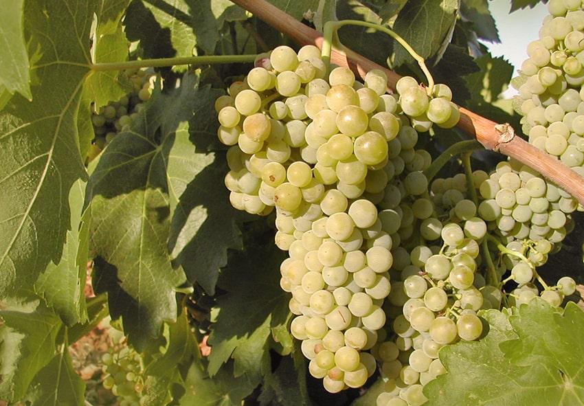 Технічні сорти винограду фото опаис