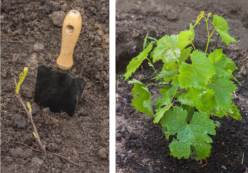 Саджанець винограду висадка фото опис