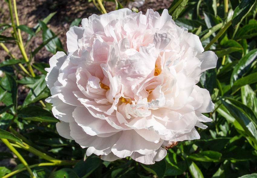 Пион Shirley Temple фото описание
