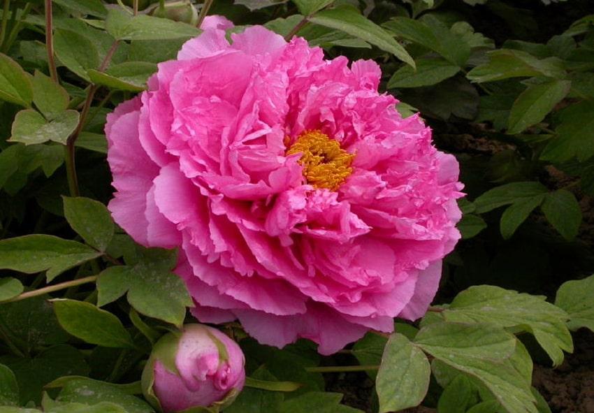 Пион Pink Water-lily фото описание