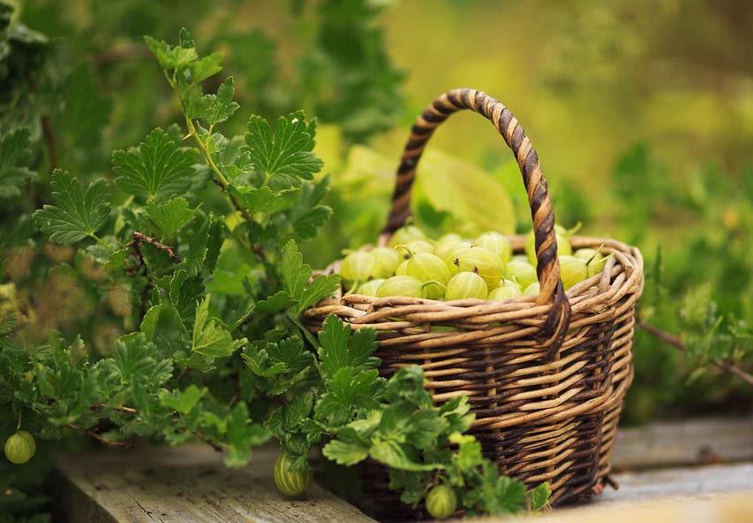 Неприхотливые плодовые кустарники фото описание