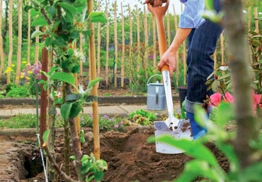 Специфика посадки штамбовых плодовых деревьев фото описание