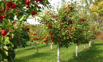 Топ 10 штамбовых деревьев