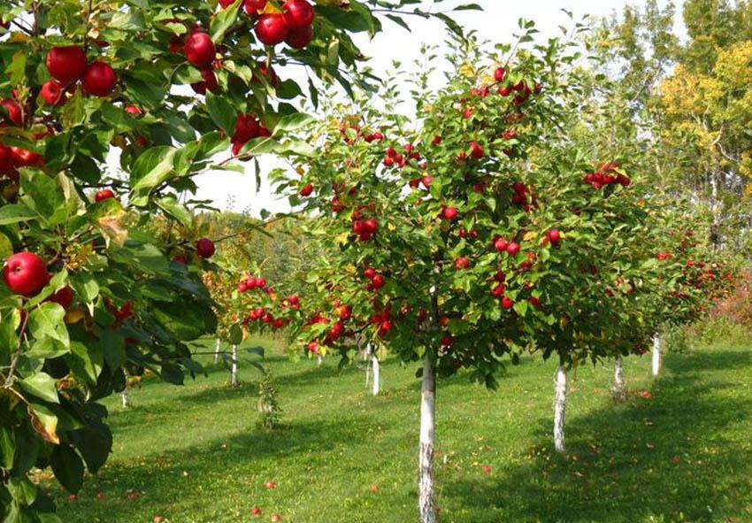 Топ 10 штамбовых деревьев фото описание