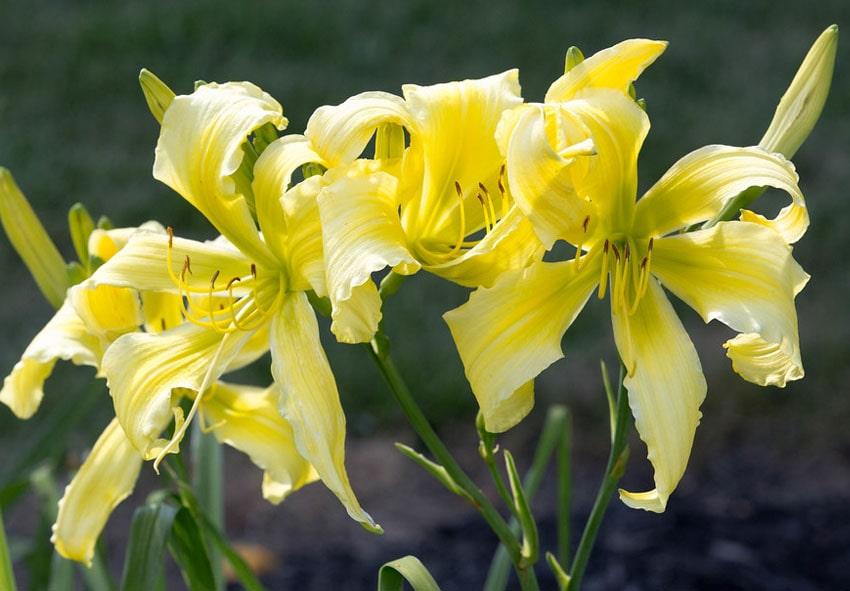 Лилейники: формы цветка