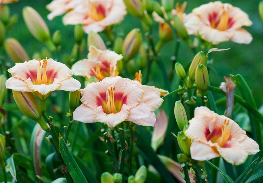 Окрас цветков лилейника фото описание