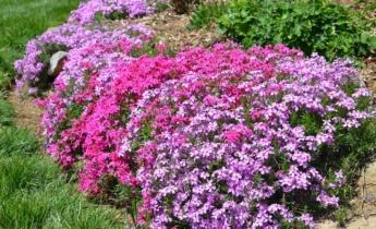 Флокс шиловидный – одно из красивейших почвопокровных растений…