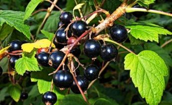 Черная смородина — должна расти в каждом саду…