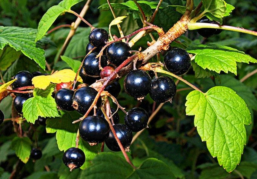 Черная смородина - должна расти в каждом саду… фото описание