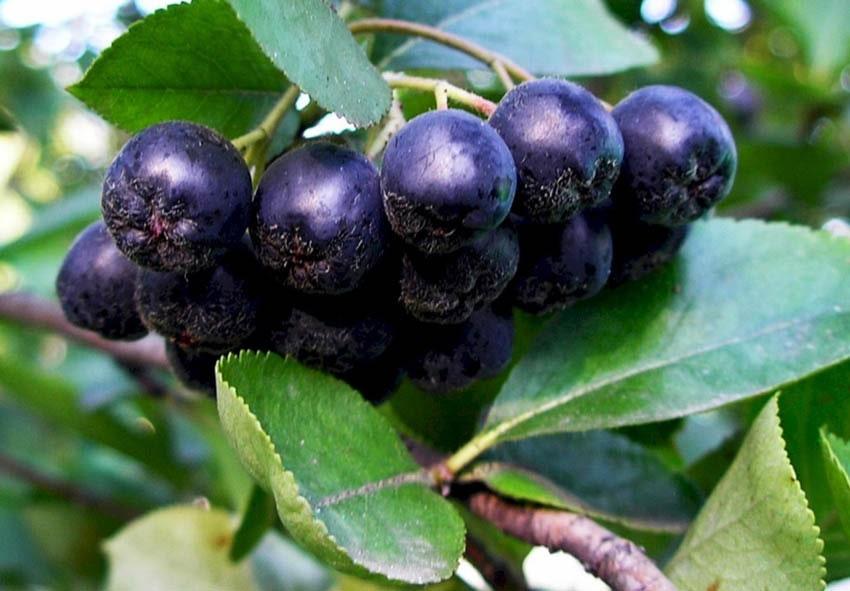 Чем полезна черноплодная рябина (арония) фото описание