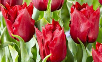 ТОП 10 новых сортов махровых тюльпанов