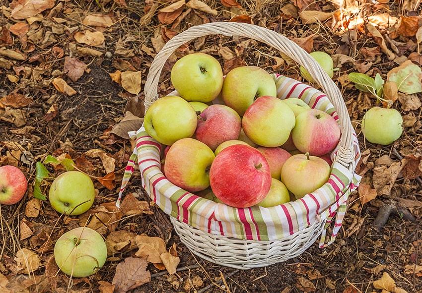 Свіжі яблука фото опис