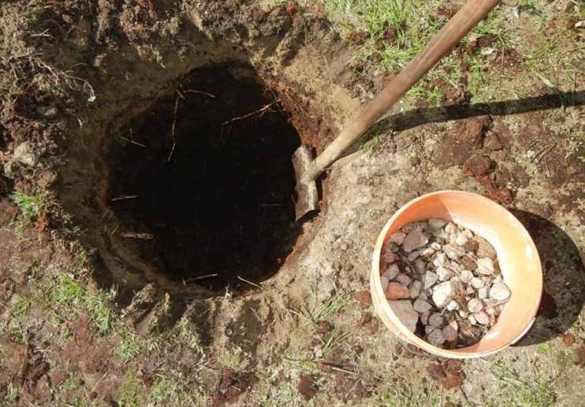 Как правильно посадить гибискус древовидный в открытый грунт фото описание