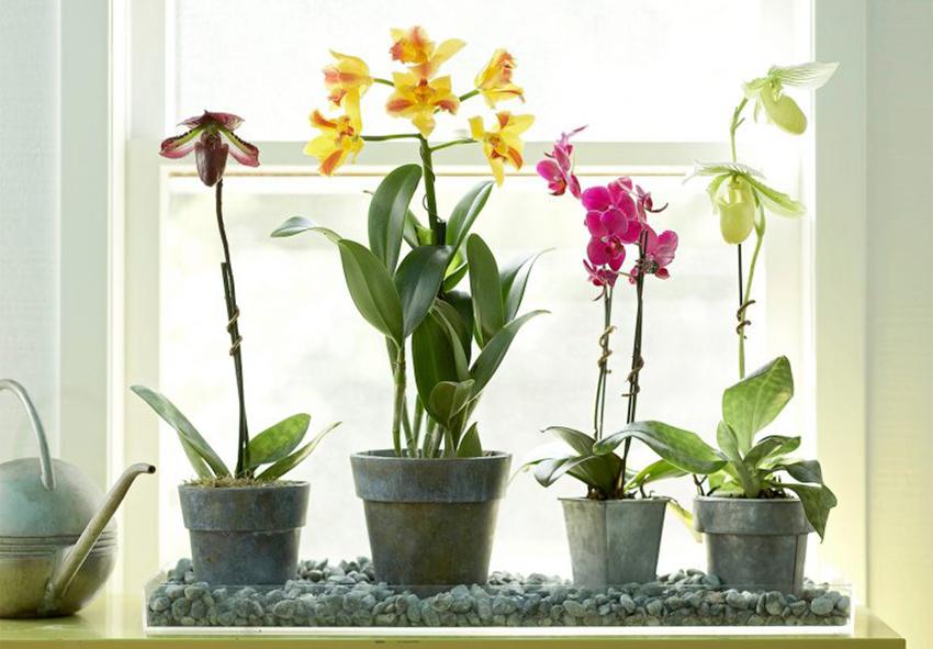 Орхідеї для класу фото опис
