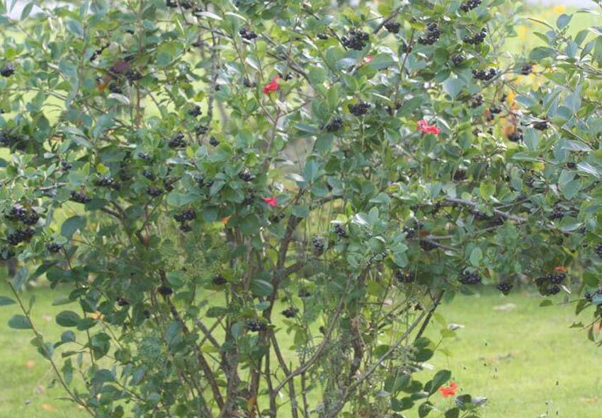 Сбор урожая черноплодной рябины фото описание