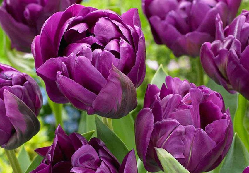 Тюльпан Negrita Double фото описание