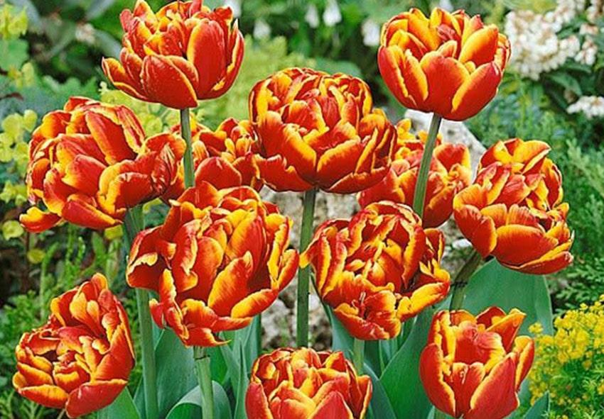 Тюльпан Allegretto фото описание