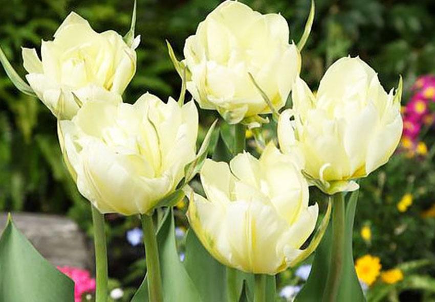 Тюльпан White Valley фото описание