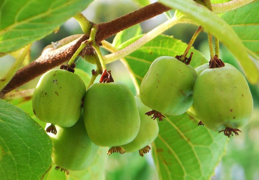 Актинидия аргута: выносливый киви, который можно выращивать в любом саду фото описание