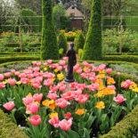 Уход За Тюльпанами Круглый Год
