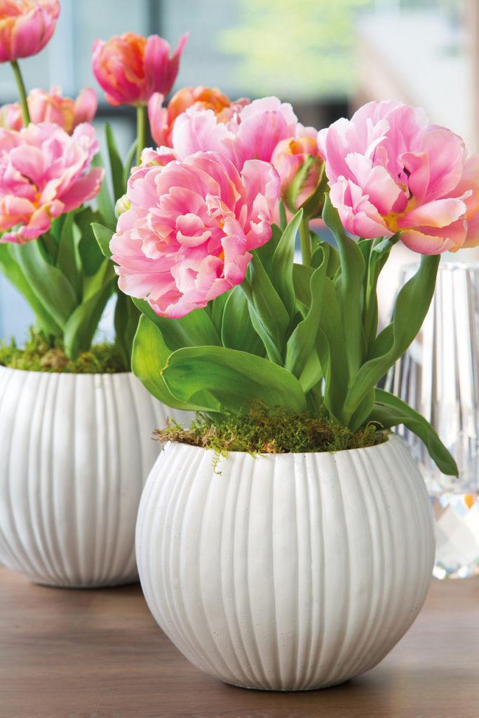 Какие луковичные цветы можно выращивать дома в горшках?