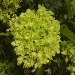 Чем примечательна гортензия Hydrangea paniculata 'Jane' Little Lime…